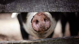 Local Pig Farmer suprised at how polite people are…..