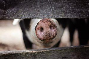 Pig Farmer encounters polite people.