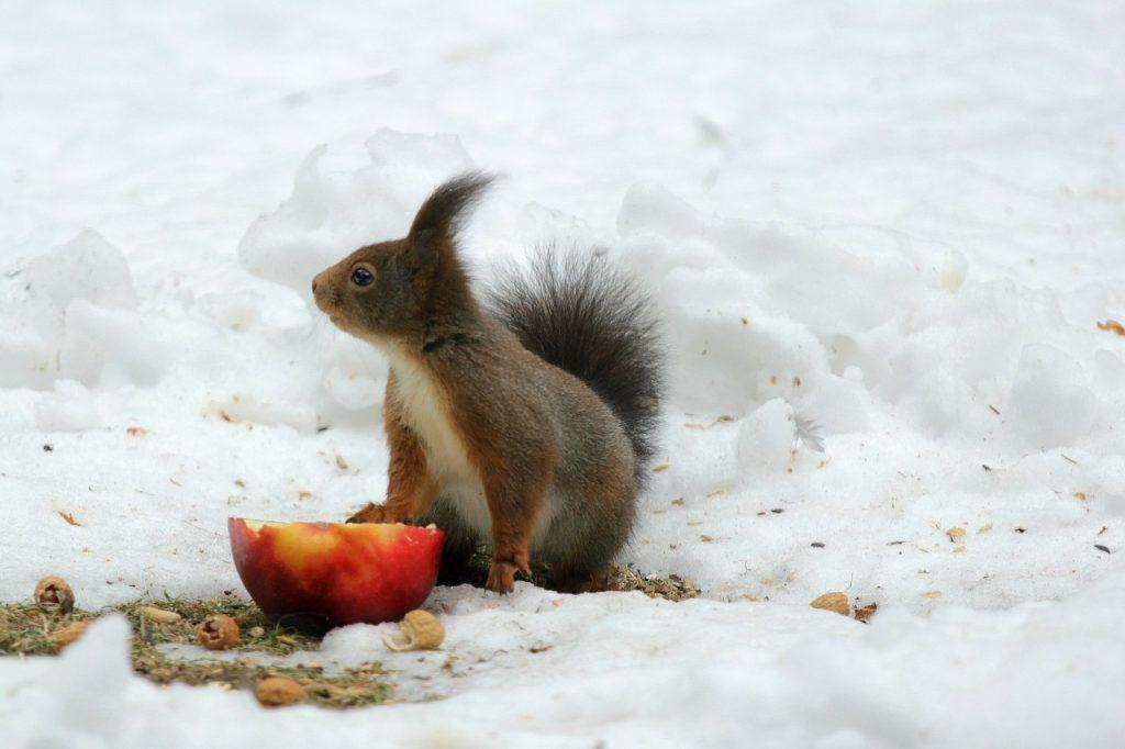 Snowed in Man in Denial. Squirrel eating fruit in Ireland